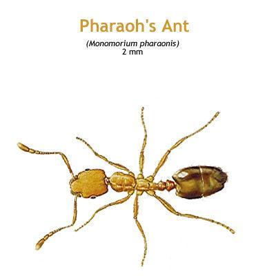 b_pharaohs_ant.jpg