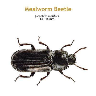 b_mealworm_beetle.jpg