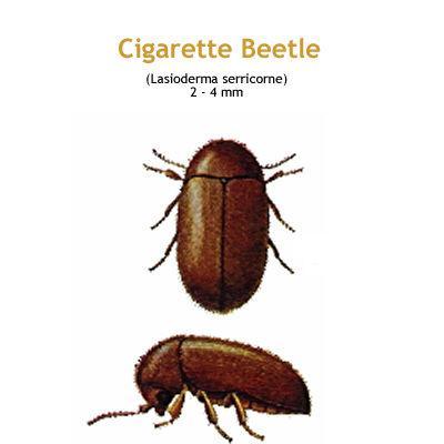 b_cigarette_beetle.jpg