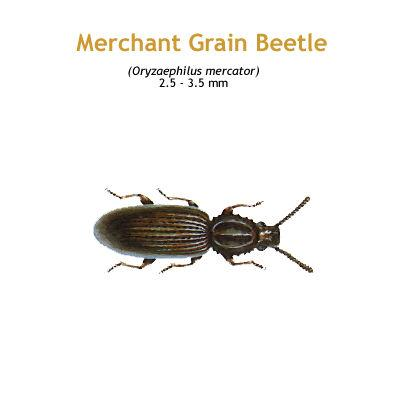 b_merchant_grain_beetle.jpg
