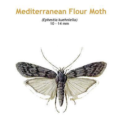 b_medi_flour_moth.jpg
