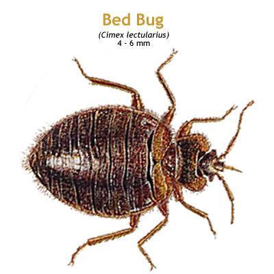 b_bedbug.jpg
