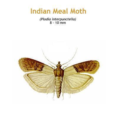 b_indian_meal_moth.jpg