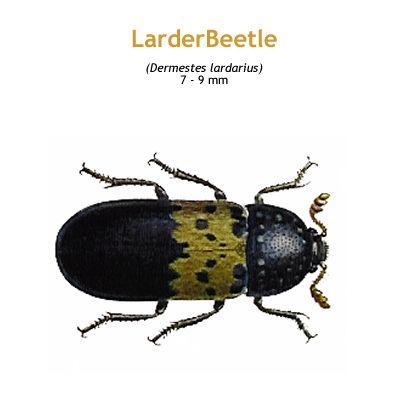 b_larder_beetle.jpg