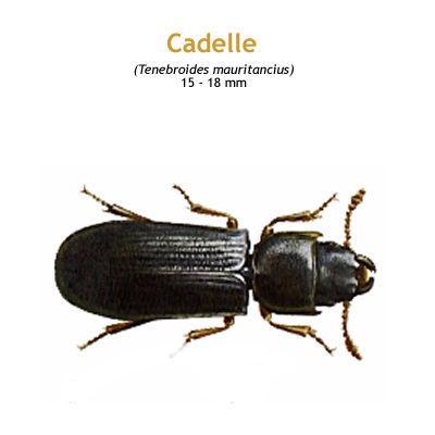 b_cadelle.jpg