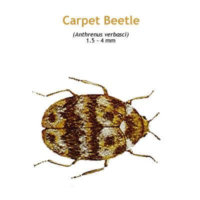 b_carpet_beetle.jpg