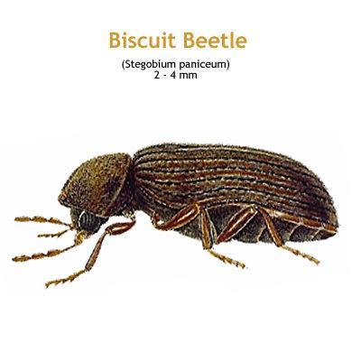b_biscuit_beetle.jpg