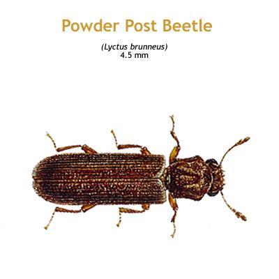 b_powder_post_beetle.jpg