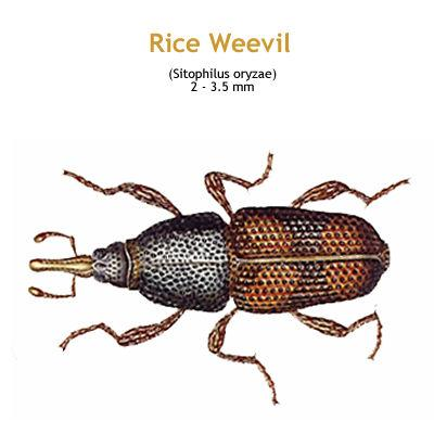 b_rice_weevil.jpg