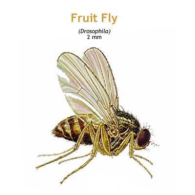 b_fruitfly.jpg