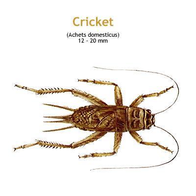 b_cricket.jpg