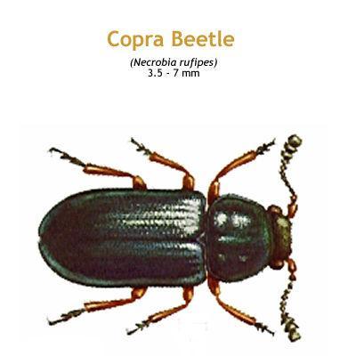 b_copra_beetle.jpg