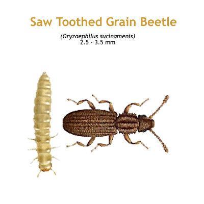 b_sawtoothed_grain_beetle.jpg
