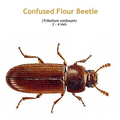 b_confused_flour_beetle.jpg