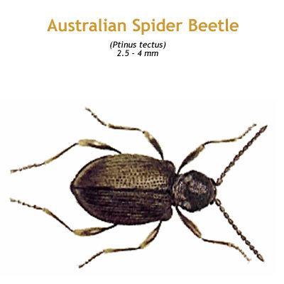 b_australian_spider_beetle.jpg