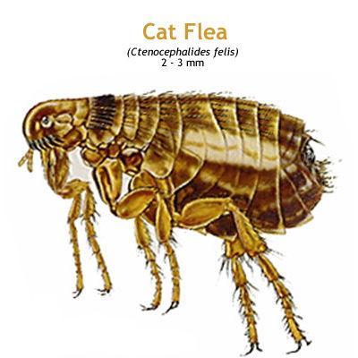 b_catflea.jpg