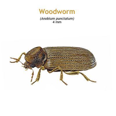 b_woodworm.jpg