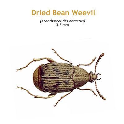 b_dried_bean_weevil.jpg