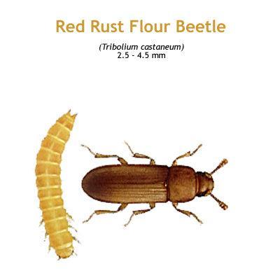 b_red_rust_flour_beetle.jpg