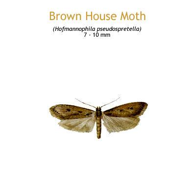 b_brown_house_moth.jpg