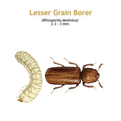 b_lesser_grain_borer.jpg