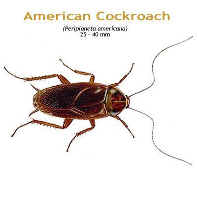 b_american_cockroach.jpg