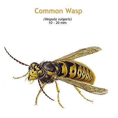 b_common_wasp.jpg