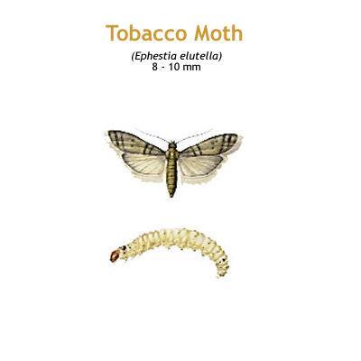b_tobacco_moth.jpg
