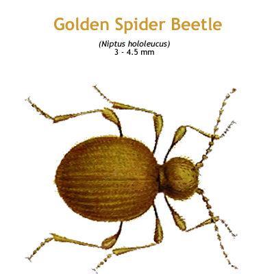 b_golden_spider_beetle.jpg
