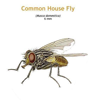 b_housefly.jpg