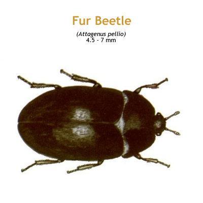 b_fur_beetle.jpg