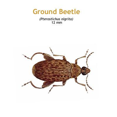 b_ground_beetle.jpg