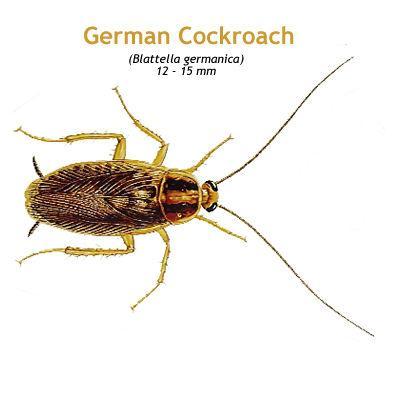 b_german_cockroach.jpg