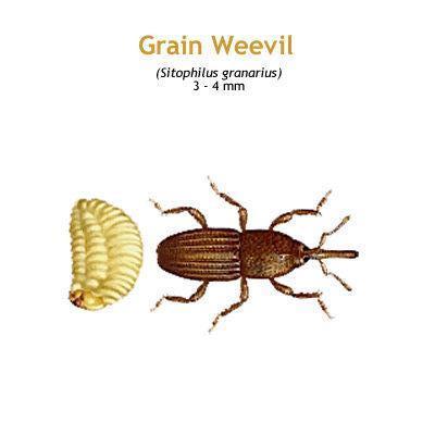 b_grain_weevil.jpg